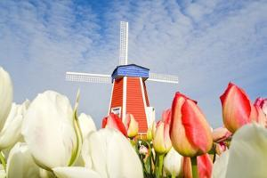 Windmill and Tulips at Wooden Shoe Tulip Farm; Woodburn, Oregon, USA by Design Pics Inc
