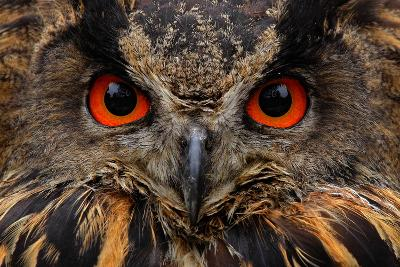 Detail Face Portrait of Bird, Big Orange Eyes and Bill, Eagle Owl, Bubo Bubo, Rare Wild Animal in T-Ondrej Prosicky-Photographic Print