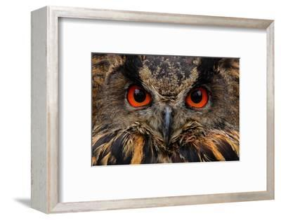 Detail Face Portrait of Bird, Big Orange Eyes and Bill, Eagle Owl, Bubo Bubo, Rare Wild Animal in T-Ondrej Prosicky-Framed Photographic Print