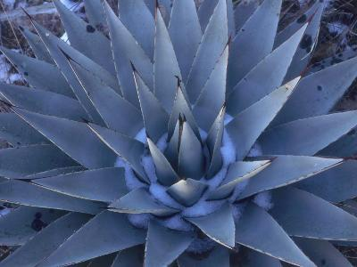 Detail of a Blue Agave in the Winter-Jeff Foott-Photographic Print