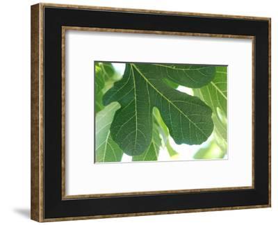 Detail of a fig tree leaf-Angela Marsh-Framed Photographic Print
