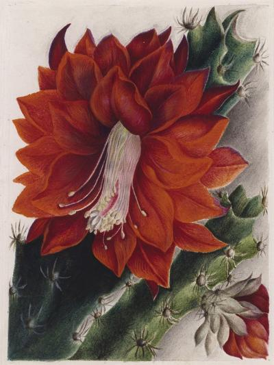 Detail of a Flowering Cactus--Giclee Print