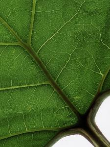 Detail of a leaf (photo)
