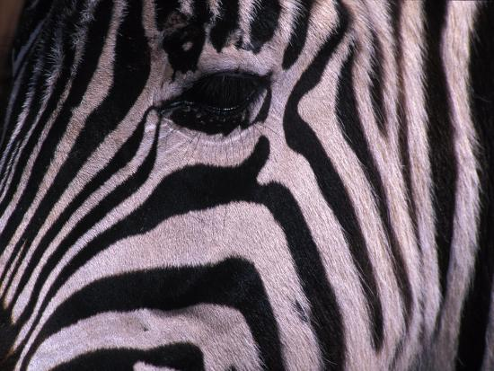 Detail of a Plains Zebra's Face-Nick Norman-Photographic Print