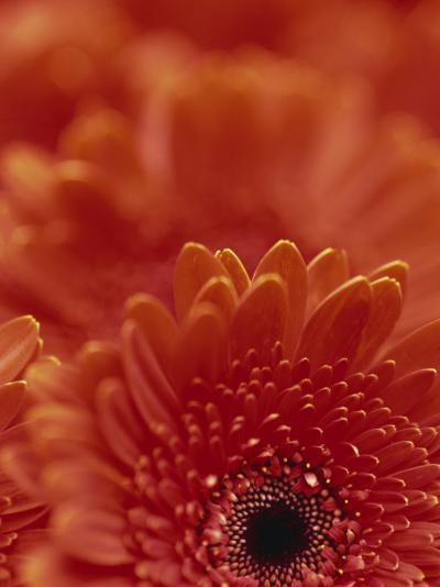 Detail of a Red Gerbera, Stacked-Murray Louise-Photographic Print