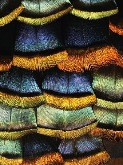 Detail of a Turkey Feather-Darrell Gulin-Photographic Print