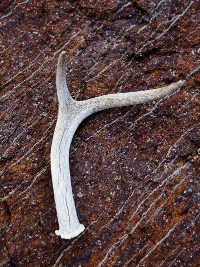 Detail of an Antler on a Rock Found on the Mountain Side of Davis Mountain Preserve, Texas-Ian Shive-Photographic Print