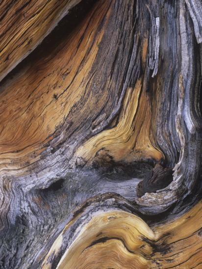 Detail of Ancient Wood of the Bristlecone Pine, Pinus Aristata, Colorado, USA-Gary Meszaros-Photographic Print