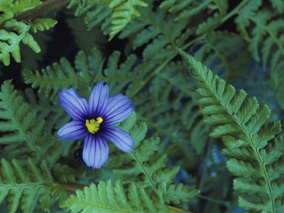 Detail of Blue-Eyed Grass-Jeff Foott-Framed Photographic Print