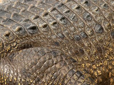 Detail of Crocodile Skin, Australia-David Wall-Photographic Print