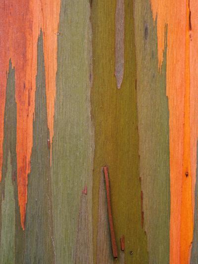 Detail of Eucalyptus Tree Bark, Kauai, Hawaii, USA-Dennis Flaherty-Photographic Print