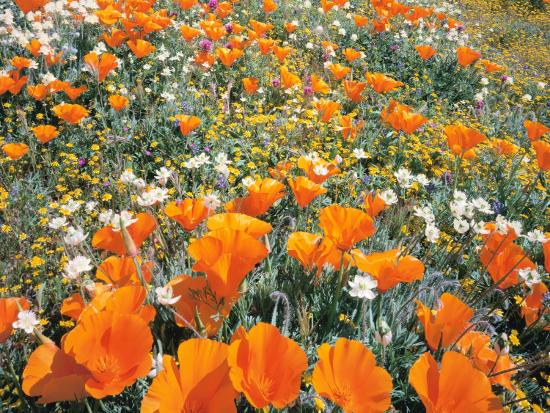Detail of Field of California Poppy, Cream Cup and Goldfield Flowers-Jeff Foott-Photographic Print