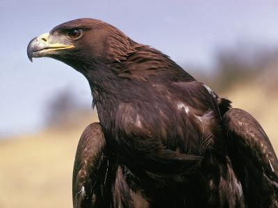 Detail of Head and Shoulders of Golden Eagle-Jeff Foott-Photographic Print