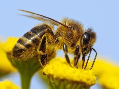 Detail Of Honeybee-Daniel Prudek-Photographic Print