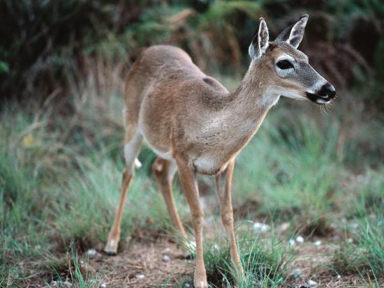 Detail of Key Deer, One of Shortest Breeds of Deer-Jeff Foott-Photographic Print