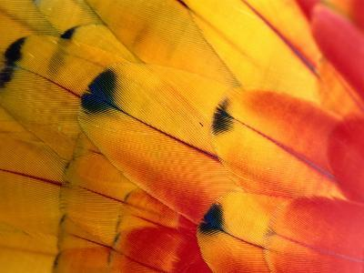 Detail of Macaw Feathers from the Tambopata Candamo National Park, Amazonas, Peru-Alfredo Maiquez-Photographic Print