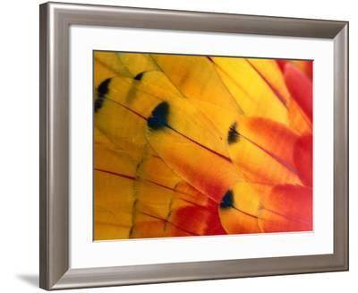 Detail of Macaw Feathers from the Tambopata Candamo National Park, Amazonas, Peru-Alfredo Maiquez-Framed Photographic Print