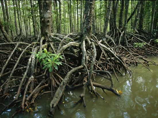 Detail of Mangrove Roots at the Waters Edge-Tim Laman-Photographic Print