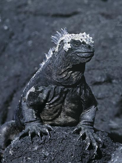 Detail of Marine Iguana on Volcanic Rock, Galapagos Islands, Ecuador-Jim Zuckerman-Photographic Print