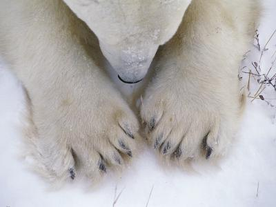 Detail of Polar Bear Paws and Nose-Jeff Foott-Photographic Print