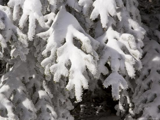 Detail of Snow on Conifer Branches-Tim Laman-Photographic Print