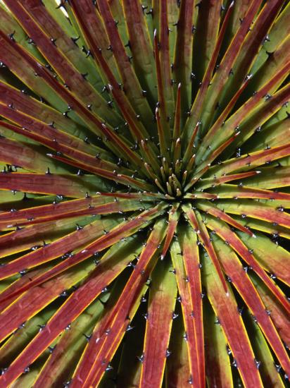 Detail of Spiky-Leafed Puya (Bromeliad), Cajas National Park, Azuay, Ecuador-Grant Dixon-Photographic Print