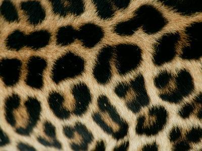 Detail of the Rosette Spots on a Leopard's Coat, Panthera Pardus-Beverly Joubert-Photographic Print