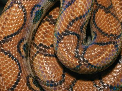Detail of the Scales and Design of a Brazilian Rainbow Boa-Darlyne A^ Murawski-Photographic Print