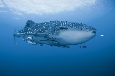 Detail of Whale Shark and Remoras, Cenderawasih Bay, Papua, Indonesia-Jaynes Gallery-Photographic Print