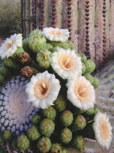 Detail of White and Peach Blooms on Saguaro Cactus-Jeff Foott-Photographic Print