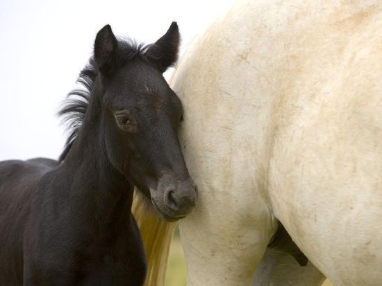 Detail of White Camargue Mother Horse and Black Colt, Provence Region, France-Jim Zuckerman-Photographic Print