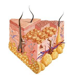 Detailed Cutaway Diagram of Human Skin