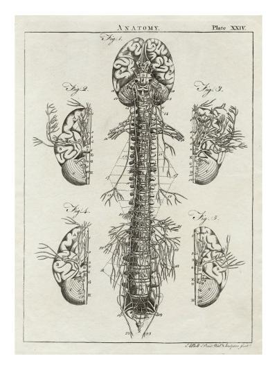 Detailed Diagram of the Brain and Spine--Giclee Print