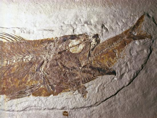 Detailed Fossil of a Mioplosus Swallowing a Small Fish-Jeff Foott-Photographic Print