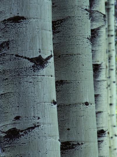 Detailed of Several Aspen Tree Trunks-Jeff Foott-Photographic Print