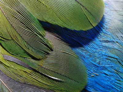 Detailed View of the Texture of the Feathers of a Red-Winged Parrot-Jason Edwards-Photographic Print
