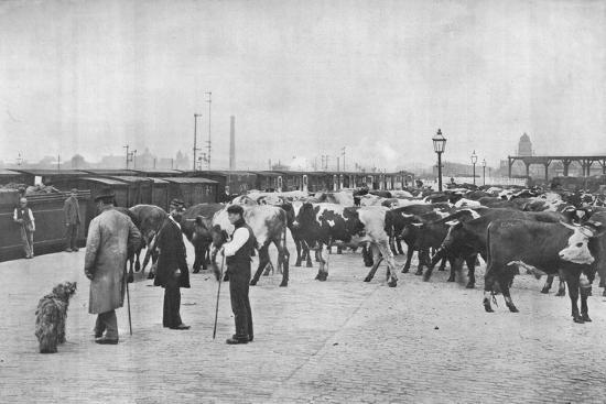 Detraining cattle, LNWR depot, York Road, London, c1903 (1903)-Unknown-Photographic Print