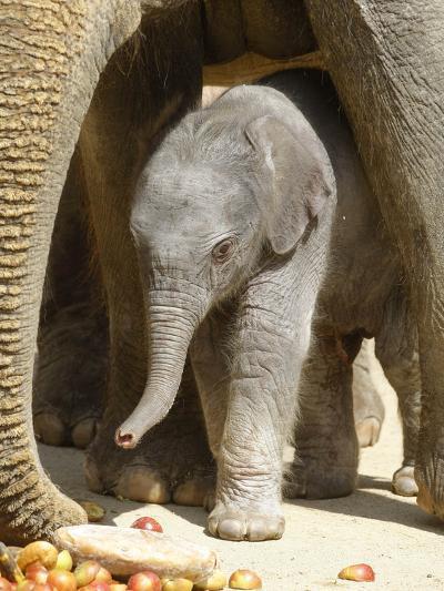 DEU Zoo Elefant-Joerg Sarbach-Photographic Print
