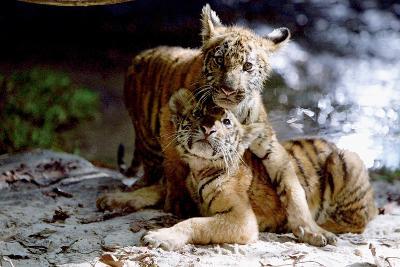 Deux Freres Two Brothers De Jeanjacquesannaud Avec Les Petits Tigres Kumal, Sangha, 2004--Photo