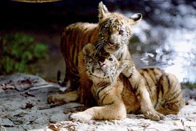 Deux Freres Two Brothers De Jeanjacquesannaud Avec Les Petits Tigres Kumal, Sangha, 2004