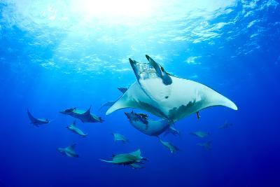 Devilrays (Mobula Tarapacana) Large Group at the Surface-Franco Banfi-Photographic Print