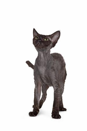 Devon Rex Cat-Fabio Petroni-Photographic Print