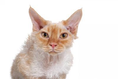 Devon Rex Cat-Fabio Petroni-Photographic Print