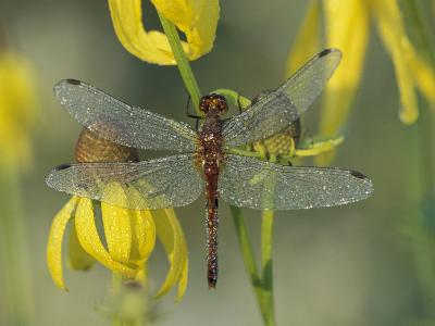 Dew-Covered Climber Dragonfly-Adam Jones-Photographic Print
