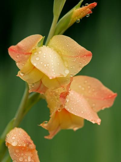 Dew Drops on a Gladiolus Growing in Cades Cove-Michael Melford-Photographic Print