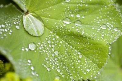 Dew Drops on a Leaf-Craig Tuttle-Photographic Print