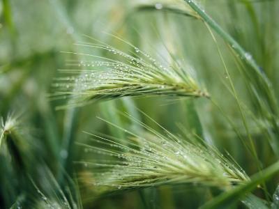 Dew Drops on Barley, San Francisco, California, USA--Photographic Print