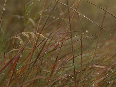 Dew Glistens on Grasses in the Mackenzie River Delta-Raymond Gehman-Photographic Print