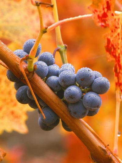 Dew on Cabernet Grapes, Napa Valley Wine Country, California, USA-John Alves-Photographic Print