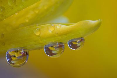 https://imgc.artprintimages.com/img/print/dew-reflecting-flowers-macro-image-on-yellow-mums_u-l-q1dk3z70.jpg?p=0